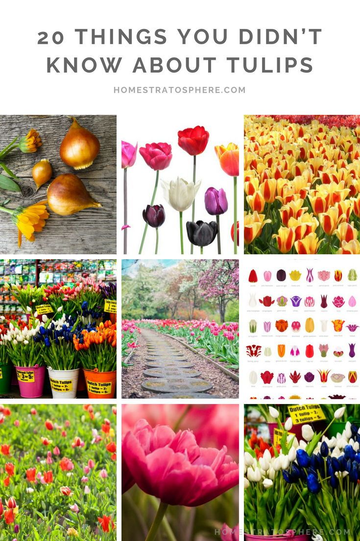 20 Fascinating Tulip Facts You Need To Know Tulips Garden Bulbs Most Beautiful Flowers