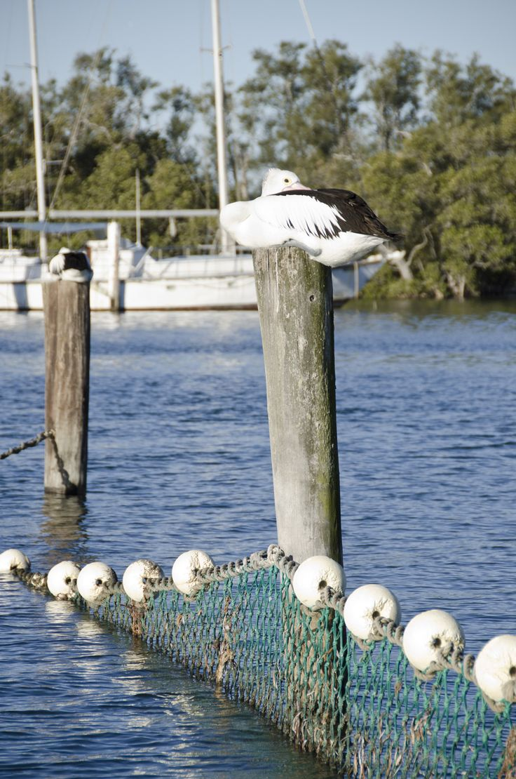 Lemon Tree Passage. There are always plenty of 'local' pelicans to spot at the Marina #portstephens #lemontreepassage