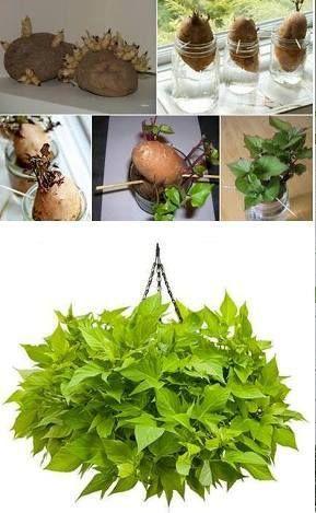 Hacer Crecer Plantas De Papa