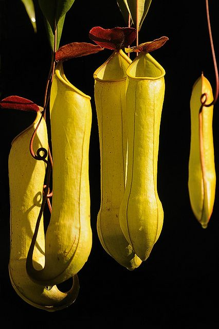 Pitcher plant (Nepenthes distillatoria), Sri Lanka by KSberg on Flickr.