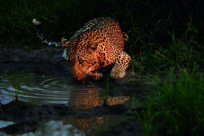 Снимая с нижней точки и используя широкоугольный объектив, можно получить неожиданные крупные планы — интимные и доверительные, хотя доверчивость эта сродни доверчивости жертвы. Обычно снизу вверх на леопарда смотрит тот, кого зверь собирается убить