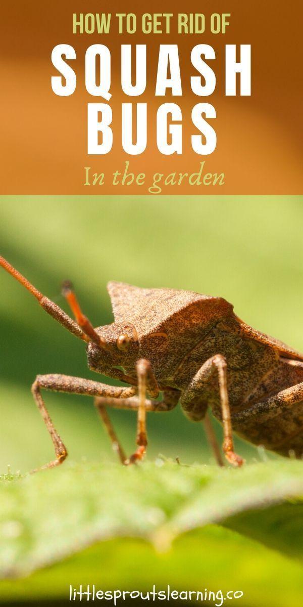 How to Get Rid of Squash Bugs | Squash bugs, Squash, Grow ...