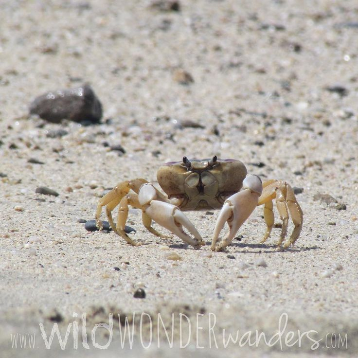 Yes, you're kind of funny lookin' too! #Beachcrab taking a short pause as it scurries by....