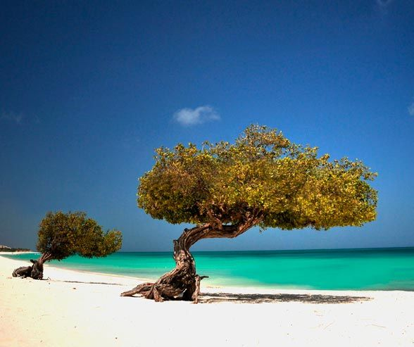 Aruba's Eagle Beach is one of the best beaches in the Caribbean, featuring breathtaking views and native fofoti trees.