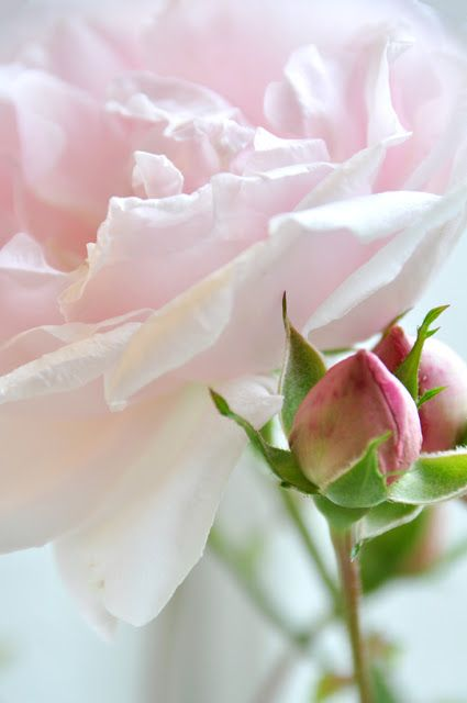 Roses...pink blush color