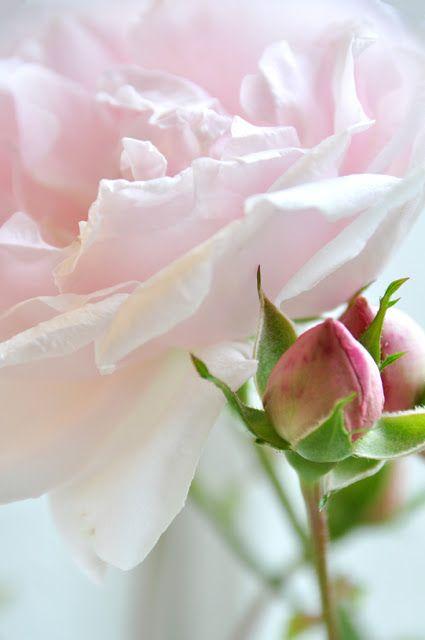 Roses...pink blush color