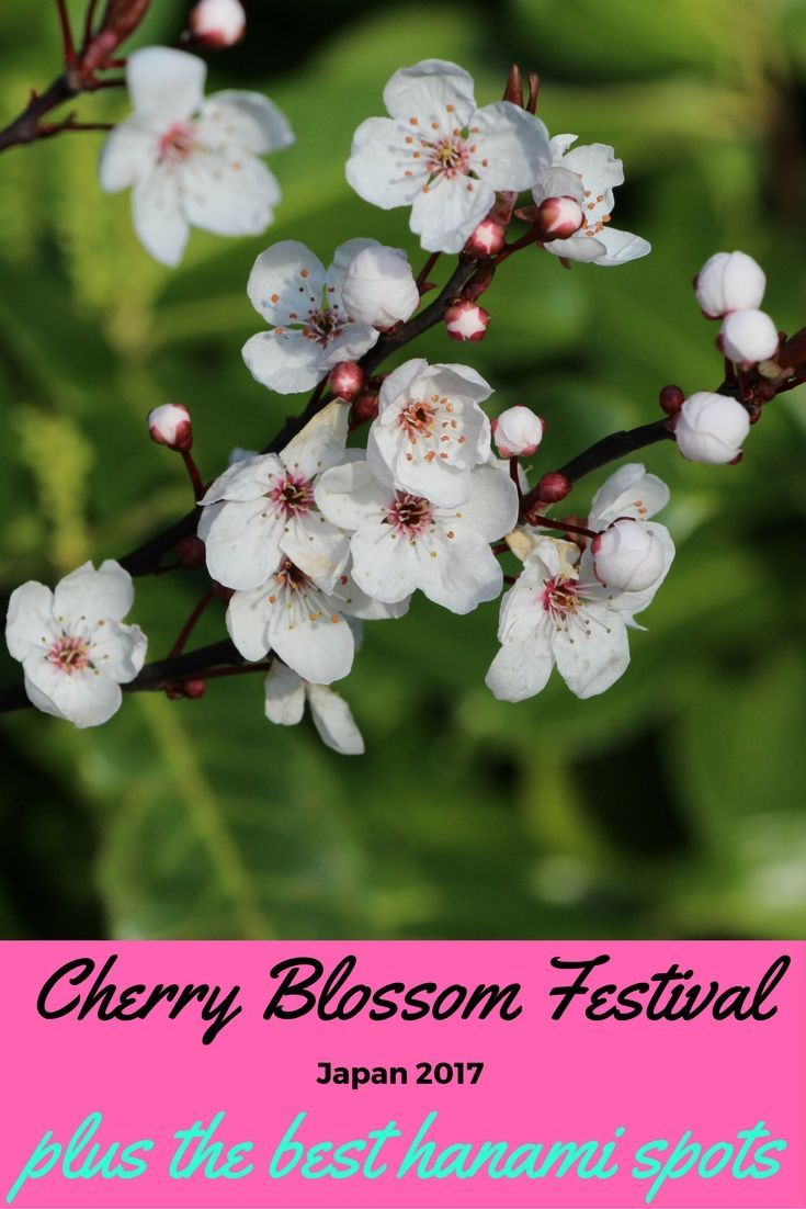 Cherry Blossom Festival Japan 2017 - Forecast  - As the snow is melting and Spring is slowly creeping in, travellers from all around the world have started making plans for one of the most beloved yearly events in Japan: The Cherry Blossom Festival.   The Cherry Blossom season (Sakura...