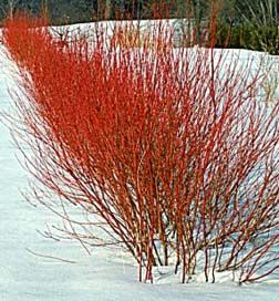 Red Twig Dogwood (Cornus stolinifera) - Winter Color. Zone 2-8.  Red stems in winter, white blossoms in spring, red berries in fall.  Fast Growth.  Mature height:  6-10 ft.