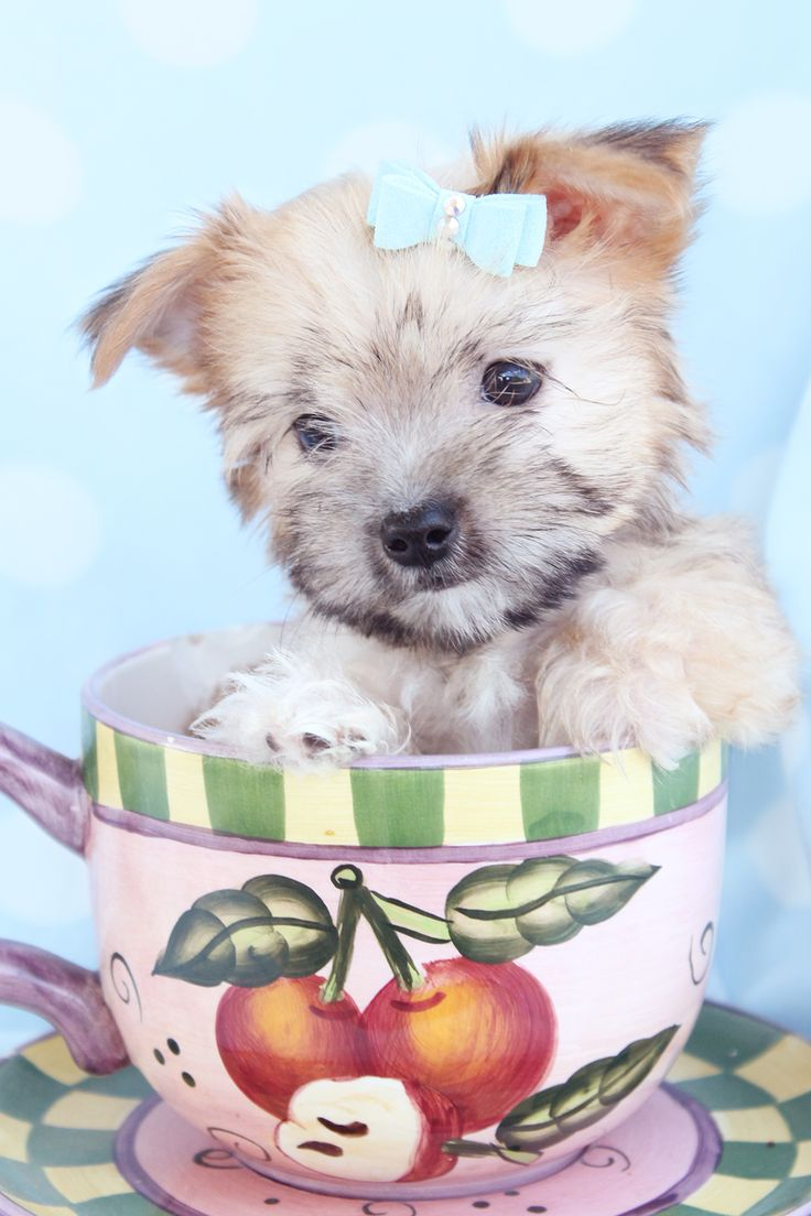 Adorable Morkie Puppies For Sale in South Florida Cute