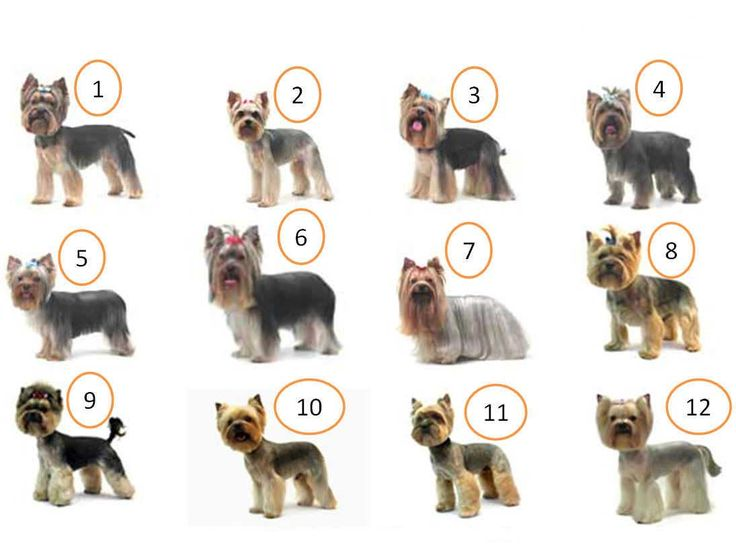 Different Yorkie haircuts