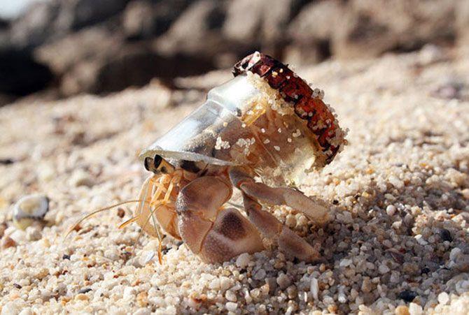 Рак-отшельник использует отбитое горлышко бутылки в качестве раковины на пляже в Пхукете, Таиланд.
