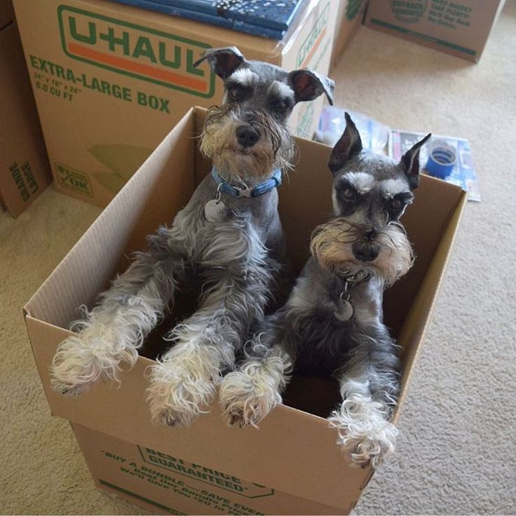 """277 Likes, 5 Comments - Buster & Bolter (@buster40k) on Instagram: """"BUSTER """"Mother, the lack of treats in this house has left us with no choice. U-Haul, I'll make it…"""""""