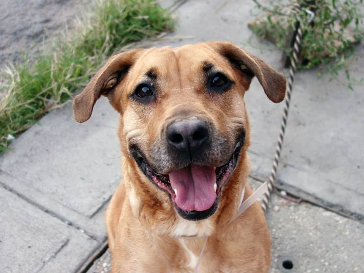 TO BE DESTROYED 9/12/14 Brooklyn Center -P  My name is LATANYA. My Animal ID # is A1012701. I am a female brown and black rhod ridgeback mix. The shelter thinks I am about 3 YEARS old.  I came in the shelter as a STRAY on 09/02/2014 from NY 11208, owner surrender reason stated was STRAY.