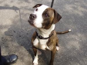 CONNECTICUT ~ pinned 8/23/12 ~ 52 Tina is an adoptable American Staffordshire Terrier Dog in New Britain, CT. **FOUND** Found in the area of Kelsey St on 8/16 Available for Adoption After 7 Days from Date of Ad Publication / Impou...
