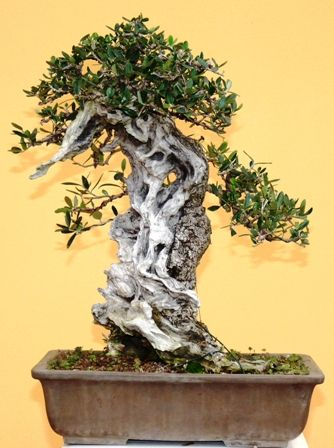 130 best images about olive bonsai on pinterest trees for Rare bonsai species