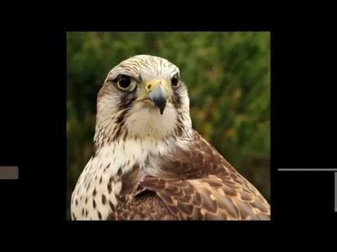 Ptáci Ptáci České republiky, dravci a sovy - YouTube