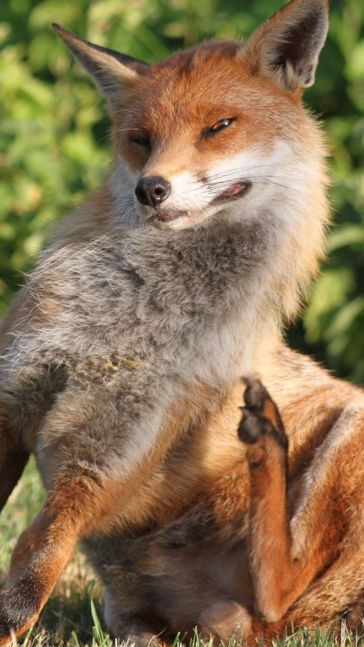 """Red Fox:  """"There's a bug bothering me!"""""""