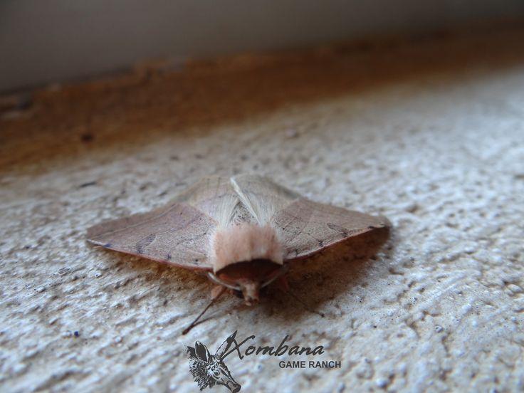 Beautiful moth @ Xombana, Dinokeng