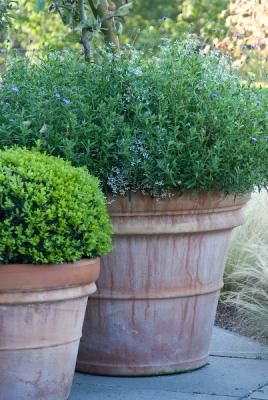 potted herbs and buxus