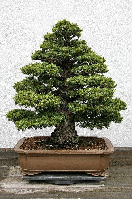JPB:Japanese White Pine (Pinus parviflora) 'Zui-sho' | Flickr - Photo Sharing!