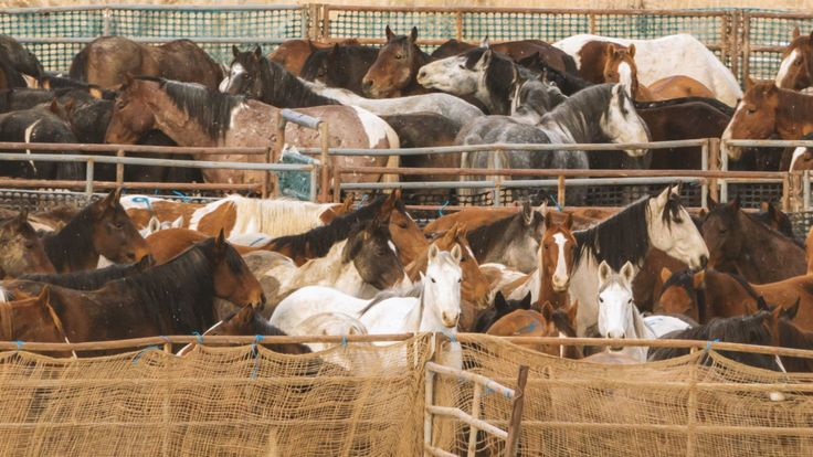 If Congress votes in favor of President Trump's budget proposal for the Bureau of Land Management (BLM), the number of free-roaming horses and burros will vastly decrease across the West. It's an emotionally charged issue that has animal rights activists comparing wild horses to unicorns and oil, mining, and livestock companies wanting the land for their own financial gain.