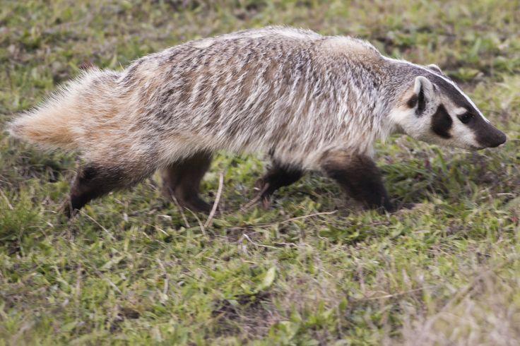American badger - Wikipedia, the free encyclopedia