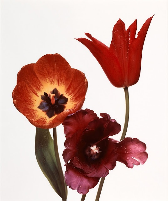 Irving PennTulip Red, 1967, Black Parrots, Irving Penne, New York, Red Shinee, Flower Photography, Penne Flower, Three Tulip