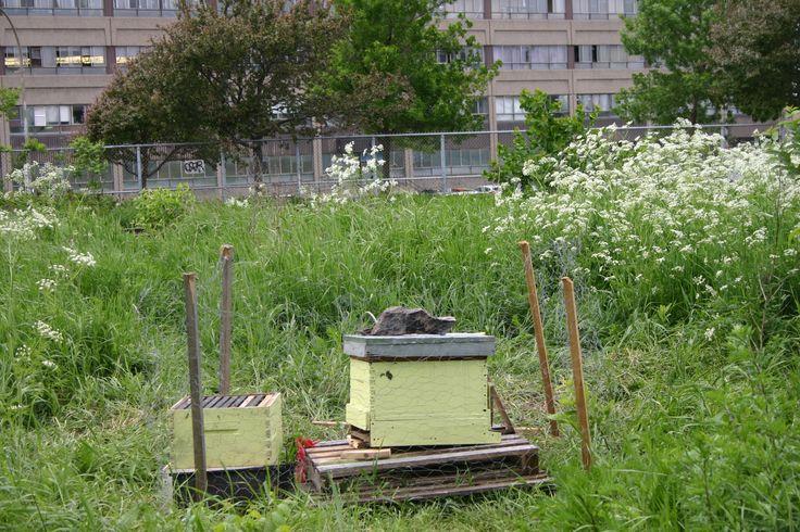apiculture urbaine