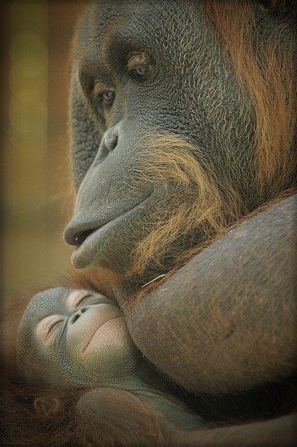 Lullaby. The Locki orangutan with her baby, born 22 November, in the Barcelona Zoo,