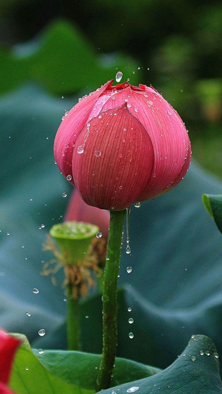 Pin on lotus