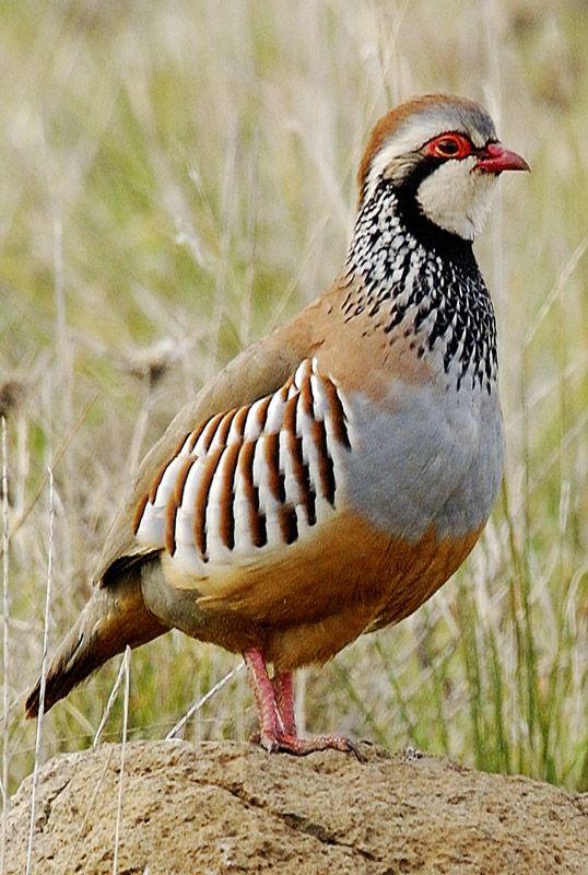 Perdiu roja - Perdiz roja - Alectoris rufa - Red-legged Partridge