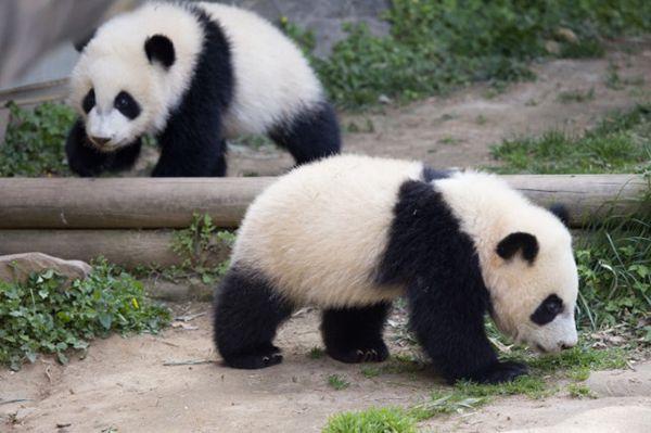 Zoo Atlanta Panda twins Mei Lun and Mei Huan