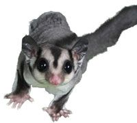 Learn your sugar glider's normal body language so you can tell what your pet is trying to communicate to you.