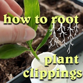 How to Root Plant Clippings ~   posted by Brittany (aka Pretty Handy Girl)