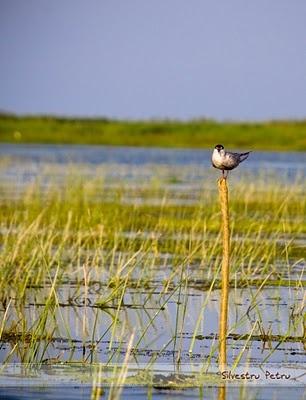 """The Danube Delta is a phenomenal wetland for wildlife. Around 82% lies in Romania (18% in Ukraine) -- it is a UNESCO biosphere reserve."" C&E European Wildlife; www.bradtguides.com"