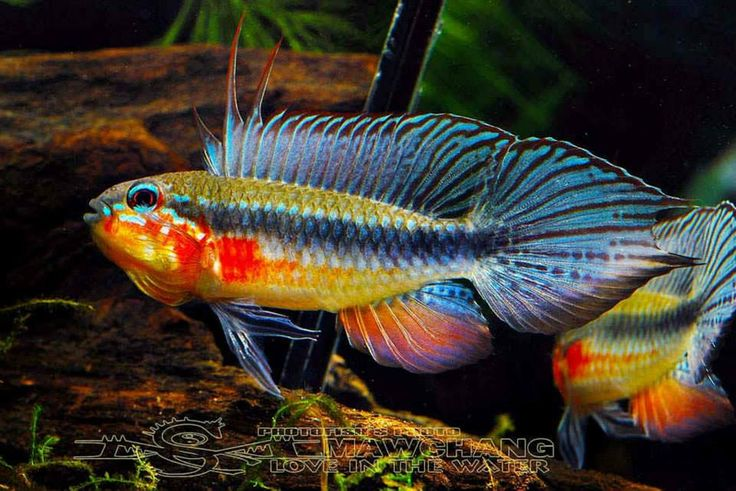 South American Cichlids on oscar cichlid african