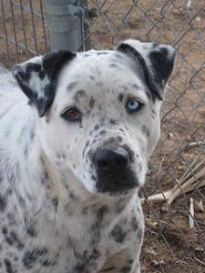 Pitbull Dalmatian Mix Dalmatian Mix Unique Dog Breeds