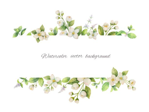 Watercolor Vector Banner Of Flowers Jasmine And Mint Branches