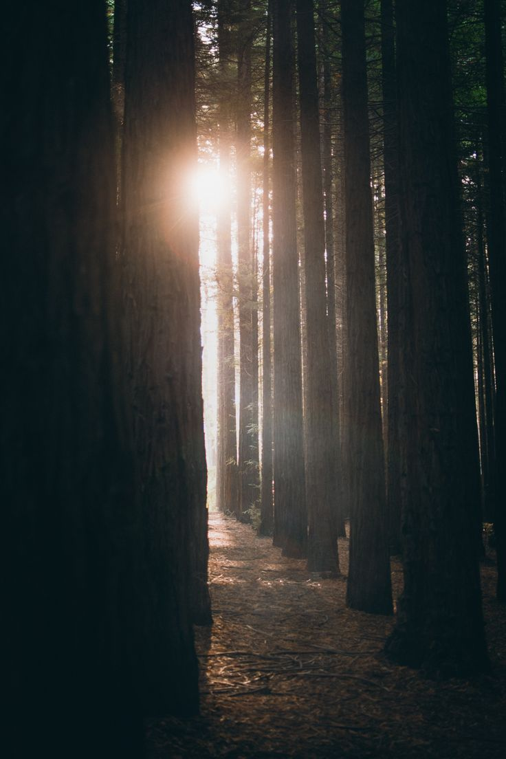 Sunset through the redwoods by Jaccob McKay
