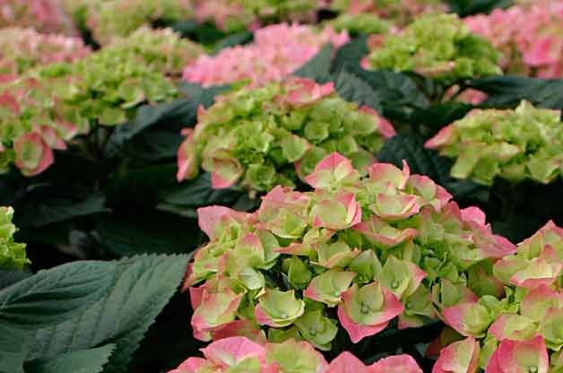 17 Best Images About Flowering Shrubs On Pinterest 400 x 300