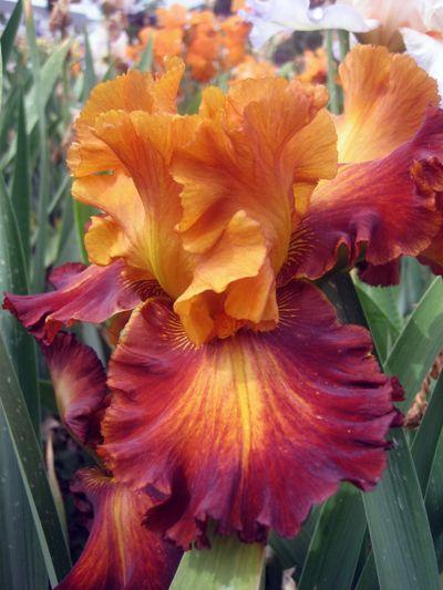 Different Flavors Iris