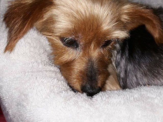 Lola the Silky Terrier waiting for her forever home.  Jan 2018