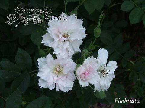 Fimbriata | Petrovic Roses