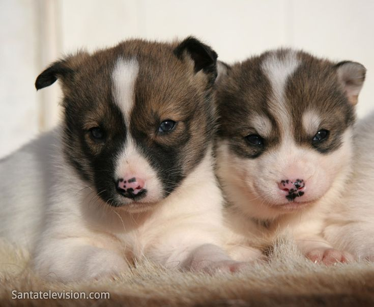 Siberian Husky puppies in Lapland in Finland