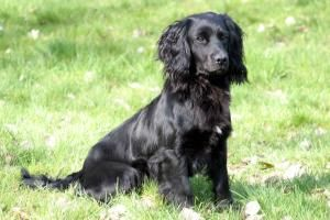 Cocker Spaniel Stud Dogs near Ipswich, Suffolk - Champdogs ®