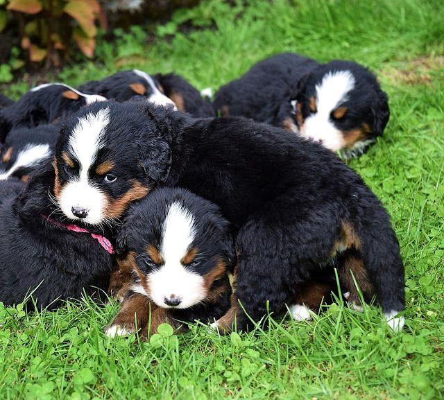 Berner Sennenhund Welpen Einfach Zum Liebhaben Berner Sennenhund Welpe Sennenhund Hunde