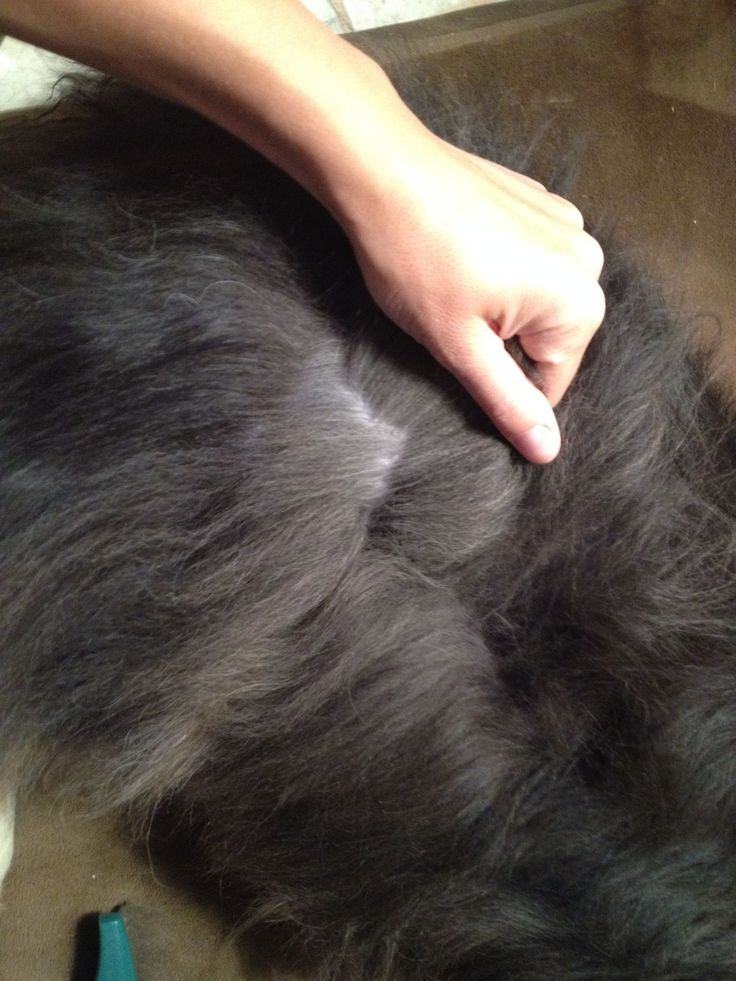 With their thick coat, Australian Shepherd shedding can be a real nuisance. An undercoat rake and 'slicker' brush are essential at-home grooming tools. #australianshepherd