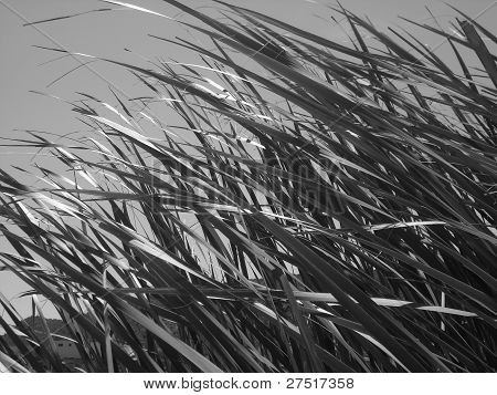Photo : Cane thicket