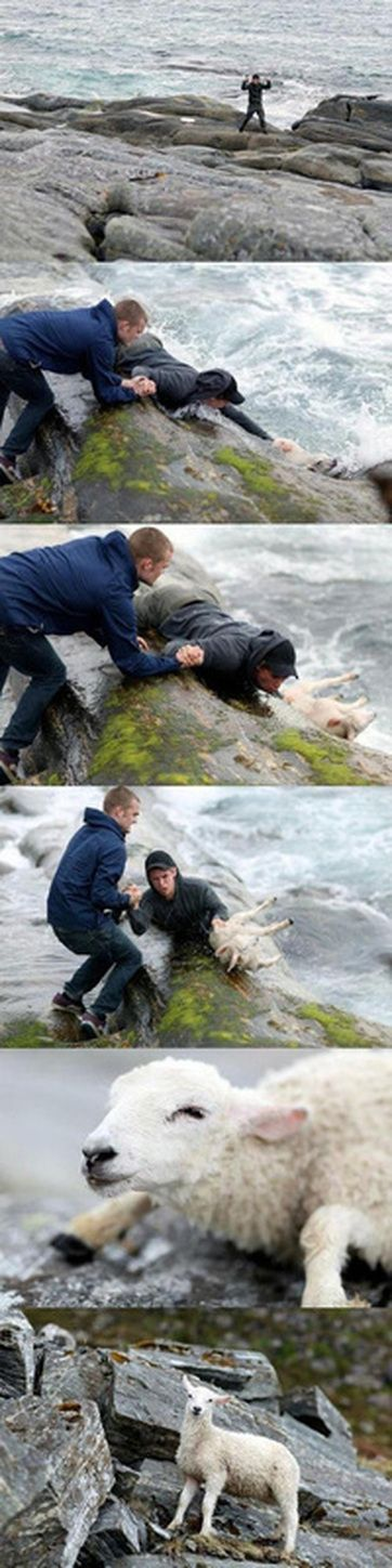 Two Norwegian guys rescuing a sheep from the ocean.  Awesome!