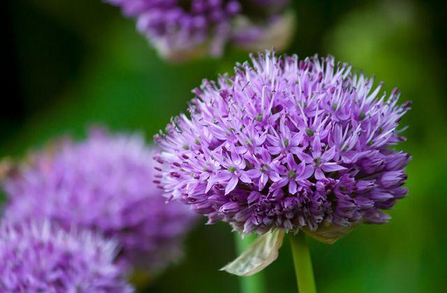 ورد بنفسجي طبيعي Beautiful Flowers Pictures Beautiful Flowers Flower Pictures